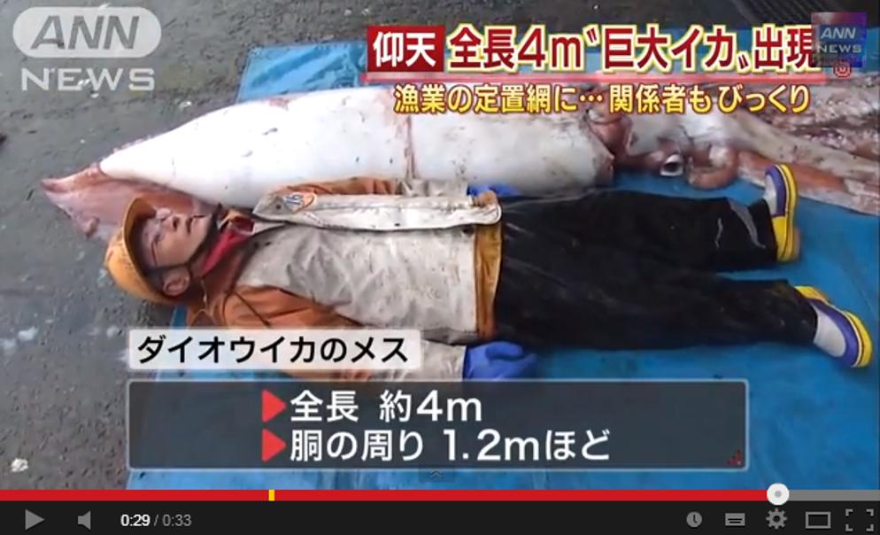 佐渡で4mの生きたダイオウイカが見つかる!予想以上ににゅるにゅる