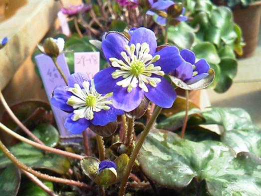 愛好家の情熱と春を告げる小さな花。雪割草新潟大会