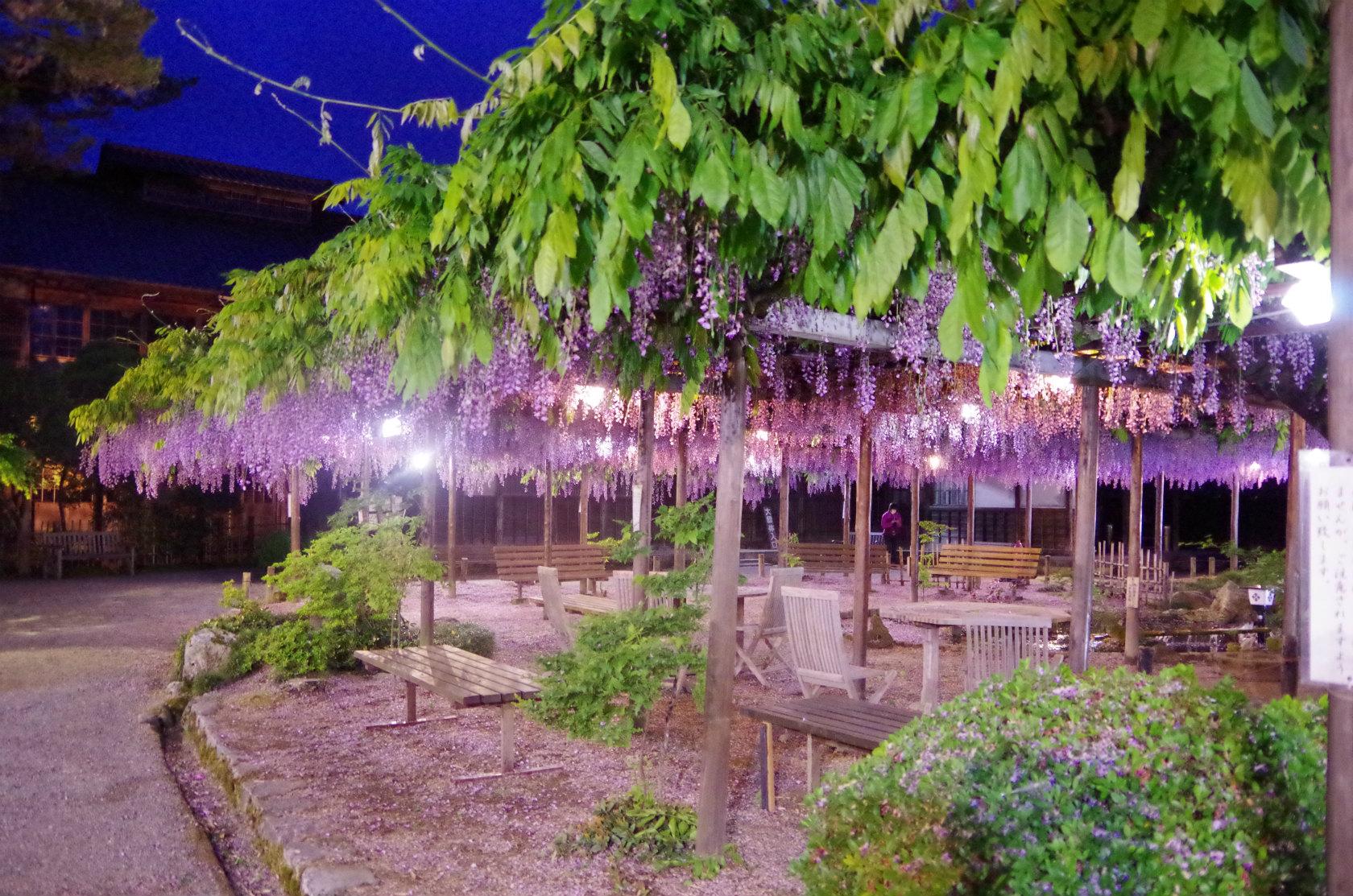 樹齢150年の藤の花カーテン!北方文化博物館の藤棚を見てきた