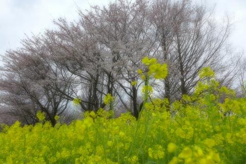 弥彦村周辺。4月初旬新潟の桜前線を確認しに行ってきました!
