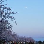 想い出の桜はありますか?~坂井輪小学校脇、西川沿いの桜