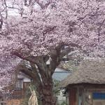 【週刊にいがたレポ】4月6日(日)~4月12日(土)