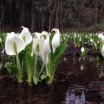 春爛漫。五泉市の花暦