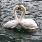 冬の白鳥の湖・阿賀野市「瓢湖(ひょうこ)」周辺で美味しいもの巡り!!