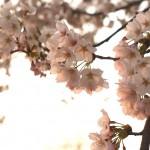 祝!北陸新幹線「上越妙高駅」開業!この春は日本三大夜桜を観に新潟へ行こうっ!!