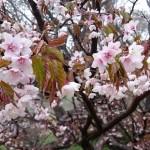 佐渡の幻想的な山桜!海抜890mの妙見キャンプ場に咲く千竜桜