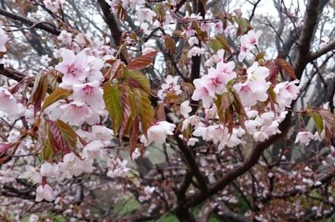 佐渡・妙見の千竜桜