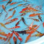 錦鯉発祥の地は新潟県にある!<泳ぐ宝石>錦鯉即売会が中越各地で開催